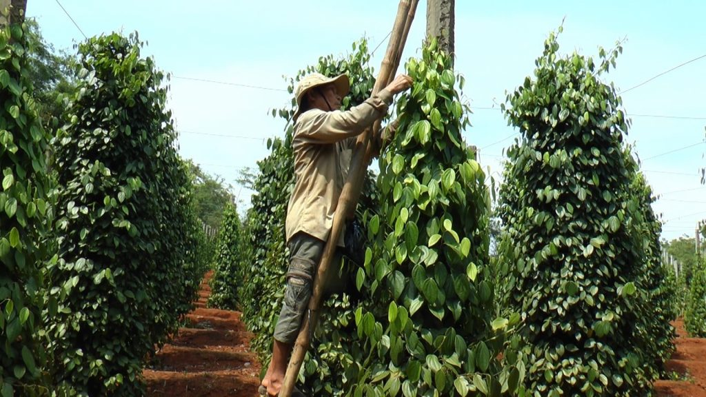 Harvesting new crop of black pepper in Vietnam, total production of black pepper in 2020 is very good.
