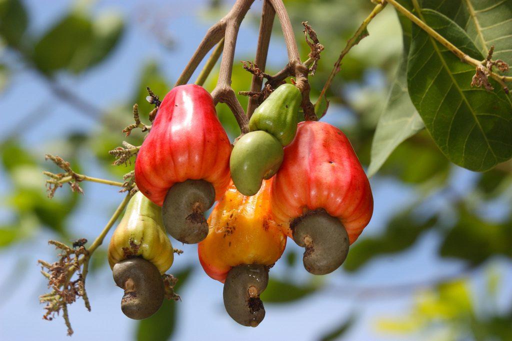 The best price cashew nut in Vietnam, raw cashew nut
