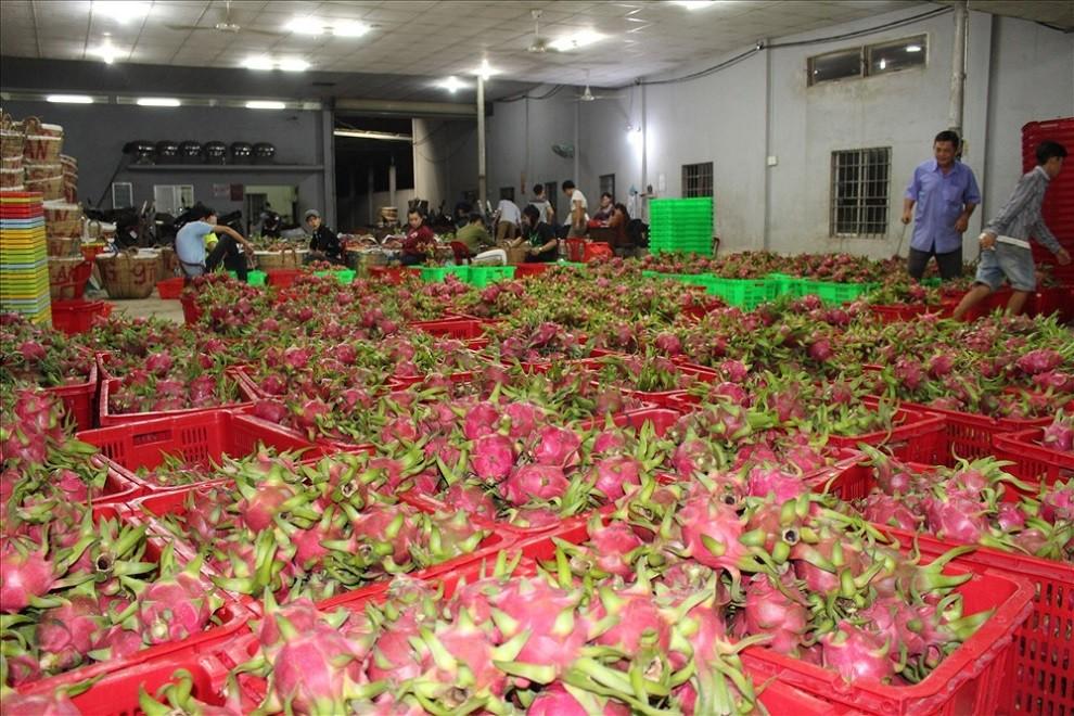 Vietnam dragon fruit for exporting